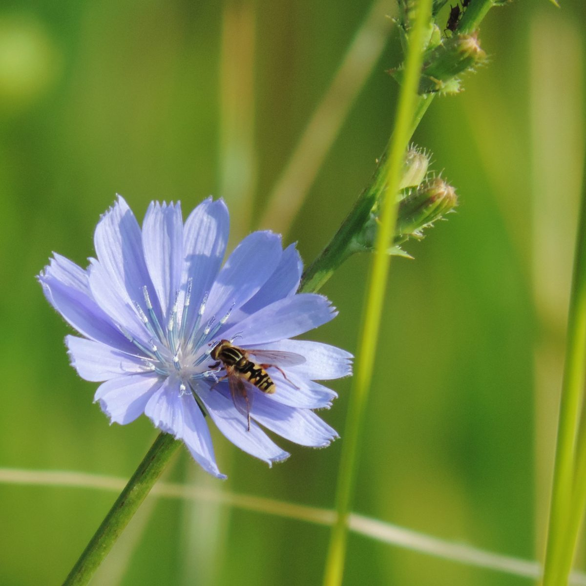 fly on blue chicory blossom