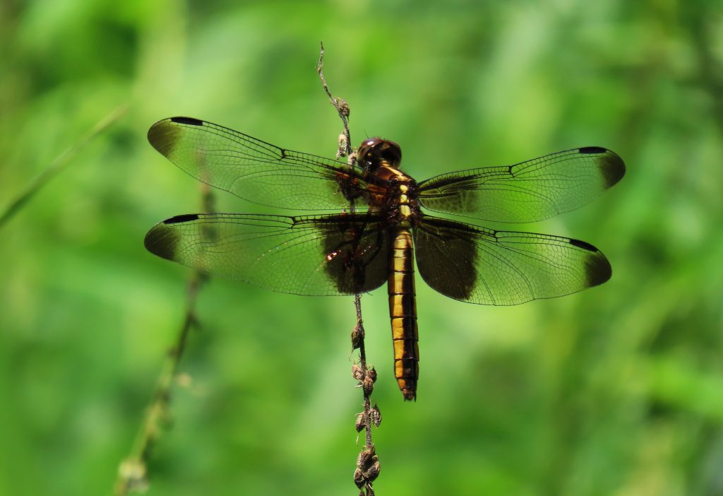 Black and gold Widow Skimmer