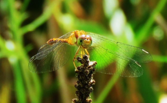 An upclose Yellow-legged Meadowhawk