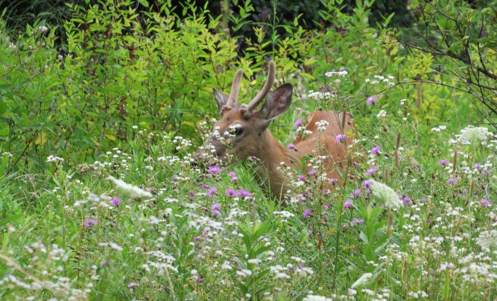 buck in flowers