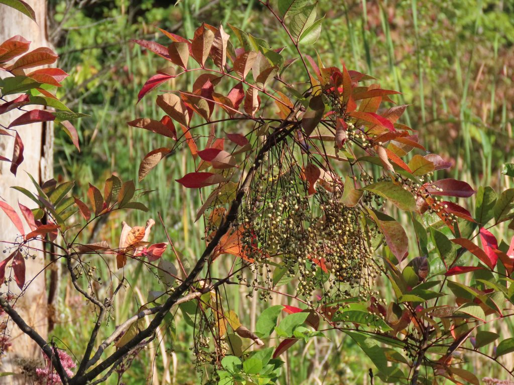 berries on poison sumac