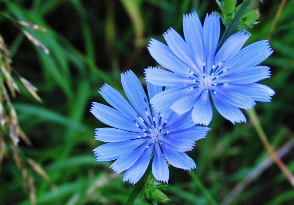Open blue chicory blossom