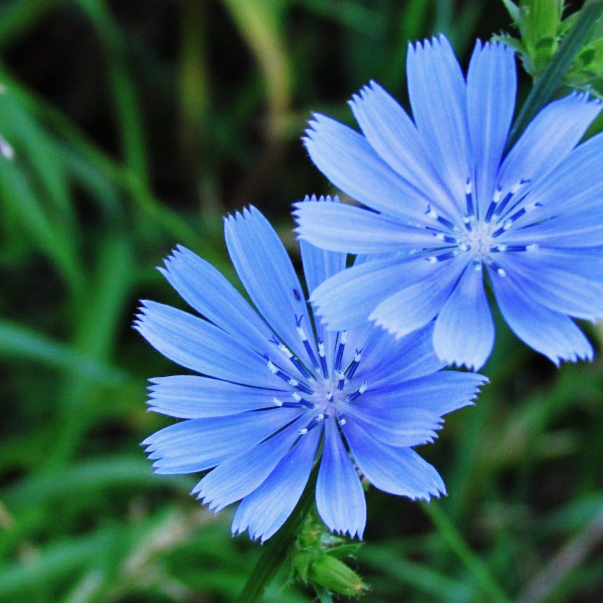 Open blue chicory blossom