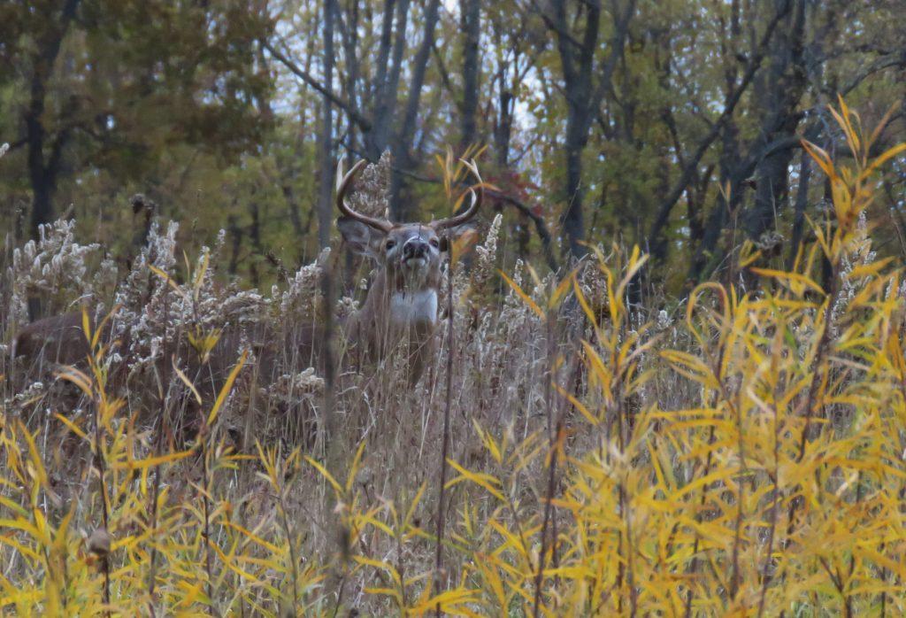 buck looking out in field