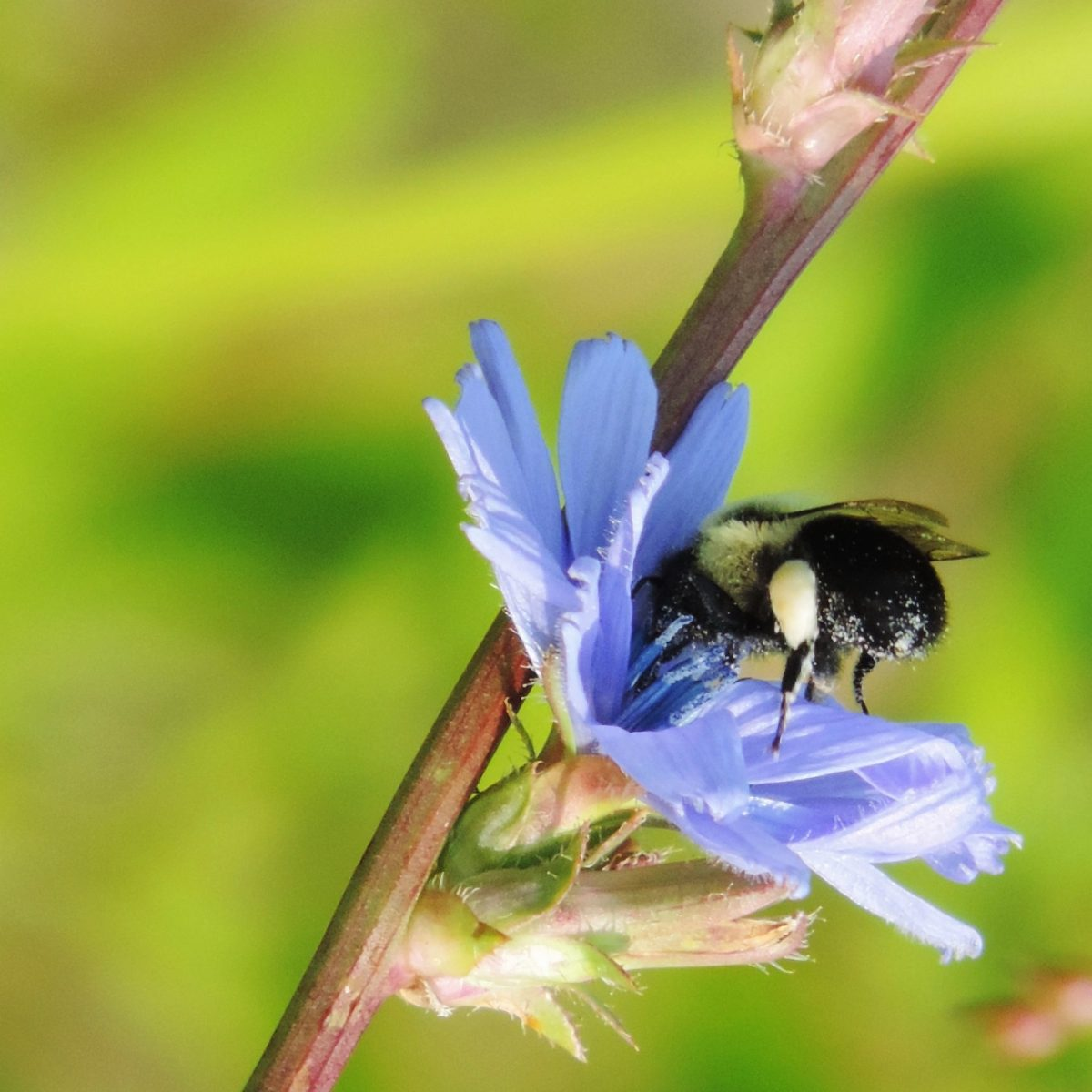 bumble bee in chicory