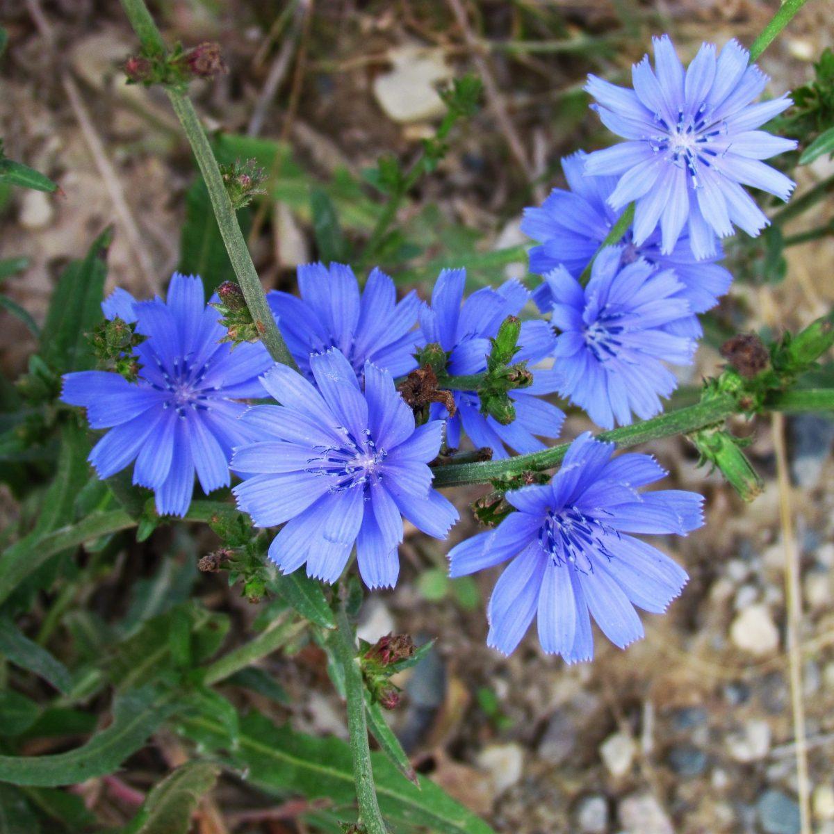 blue chicory blossoms