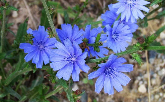 blue chicory blossoms