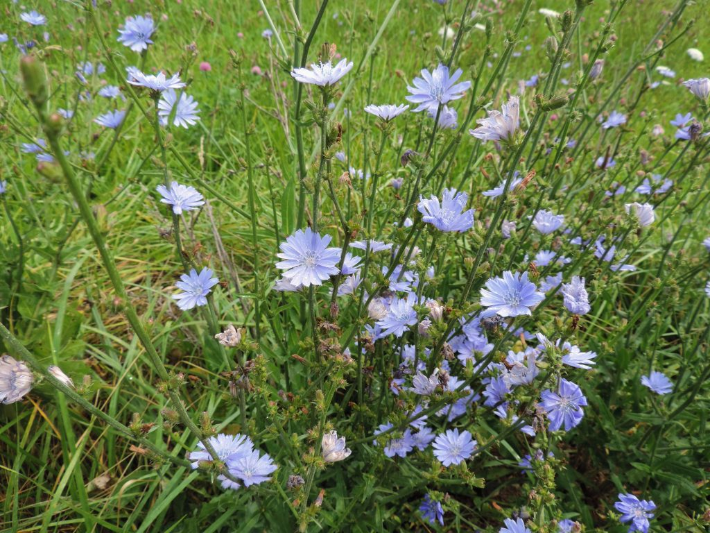 Blue chicory lining roadside