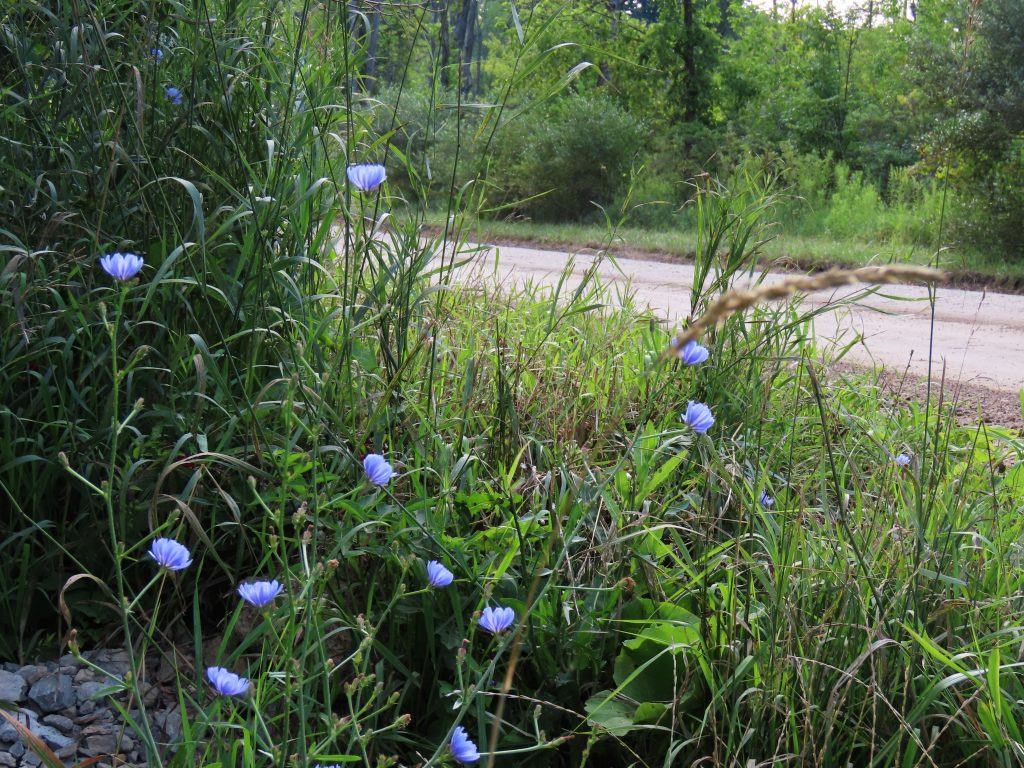 green and blue chicory