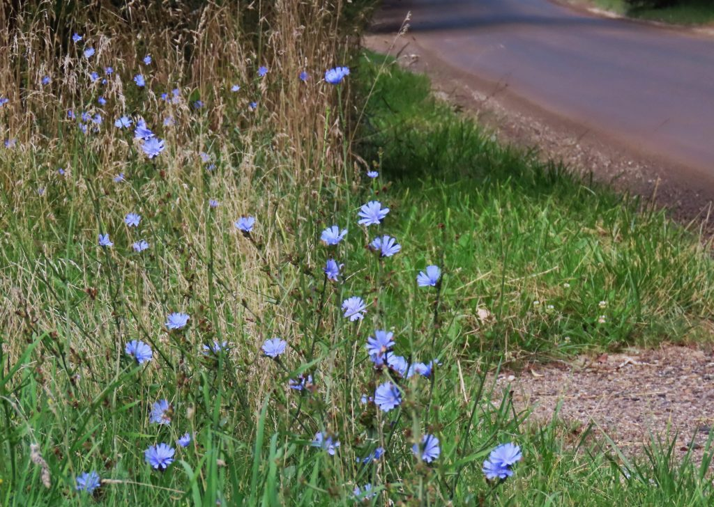 Blue chicory on green stalks