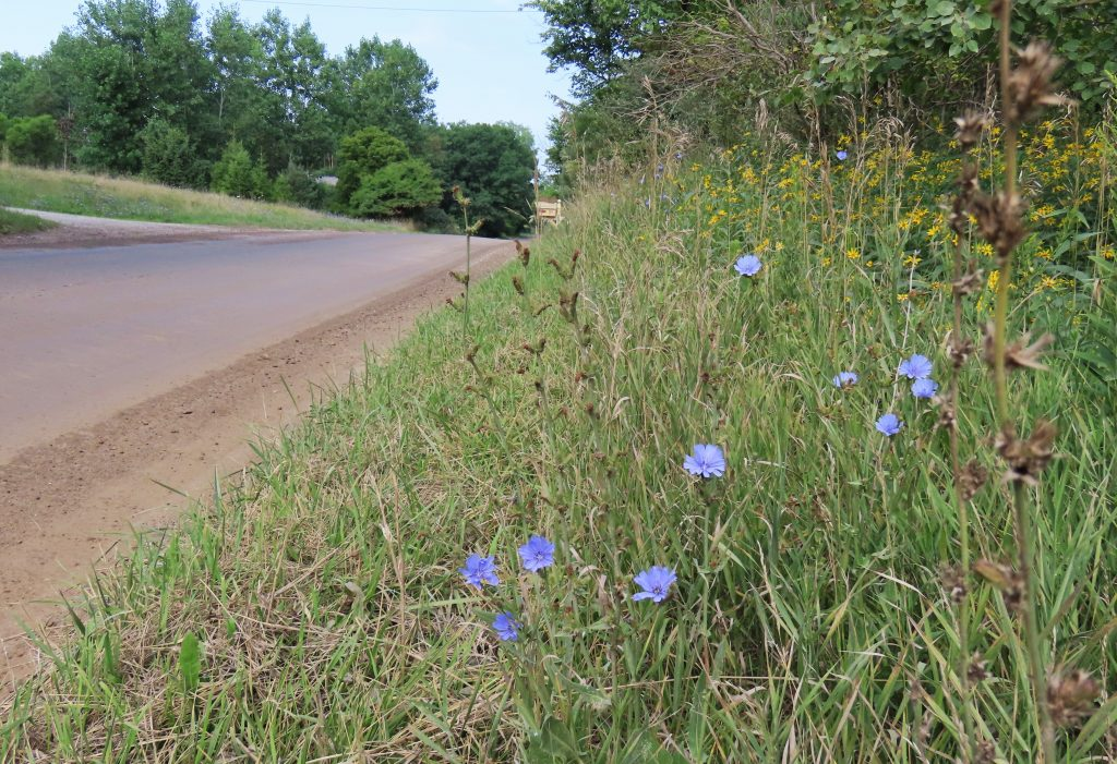 roadside chicory blossoms