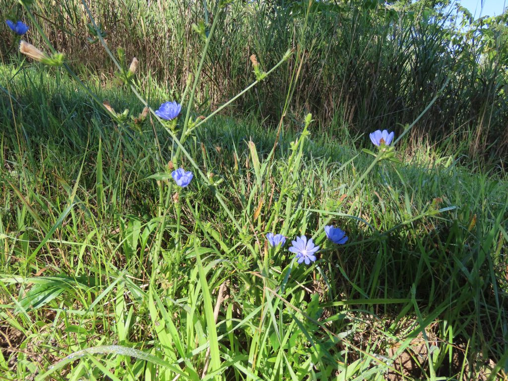 tall chicory stalks