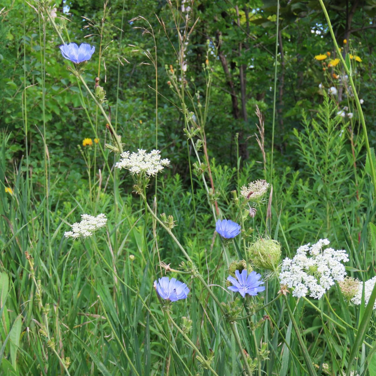 Chicory blossoms and Queen Anne's Lace