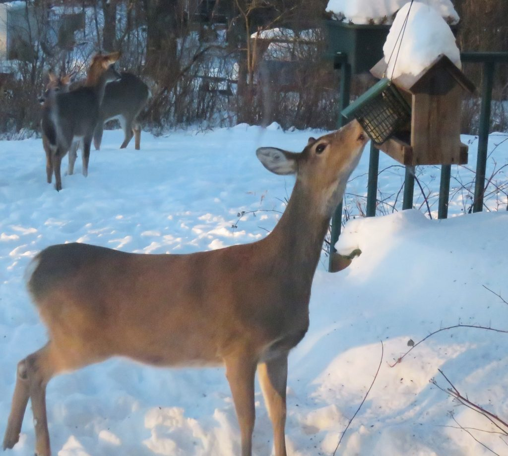 deer at bird feeder in snow