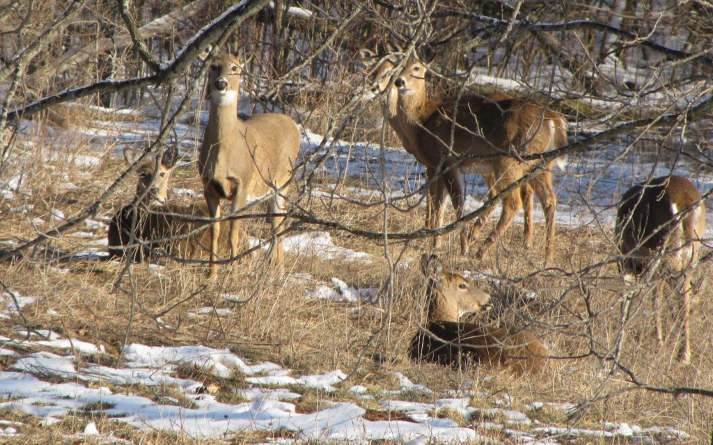 deer in melting spring snow