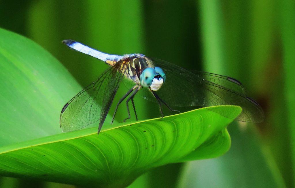 A blue male, Eastern Pondhawk on leaf.