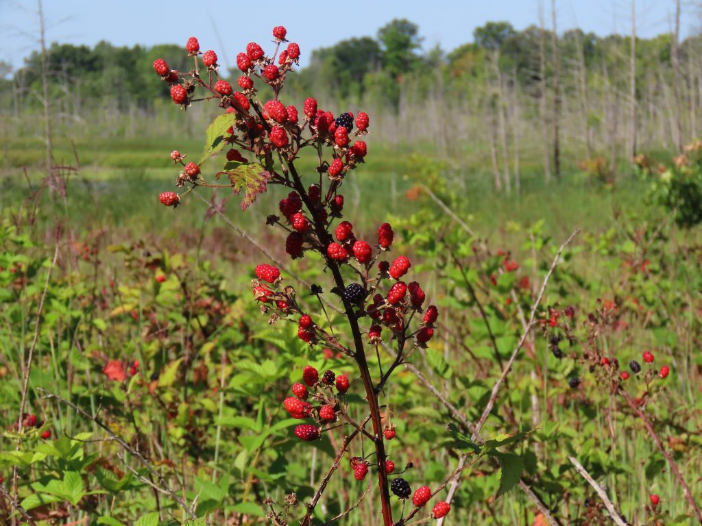 bright red blackberry bush