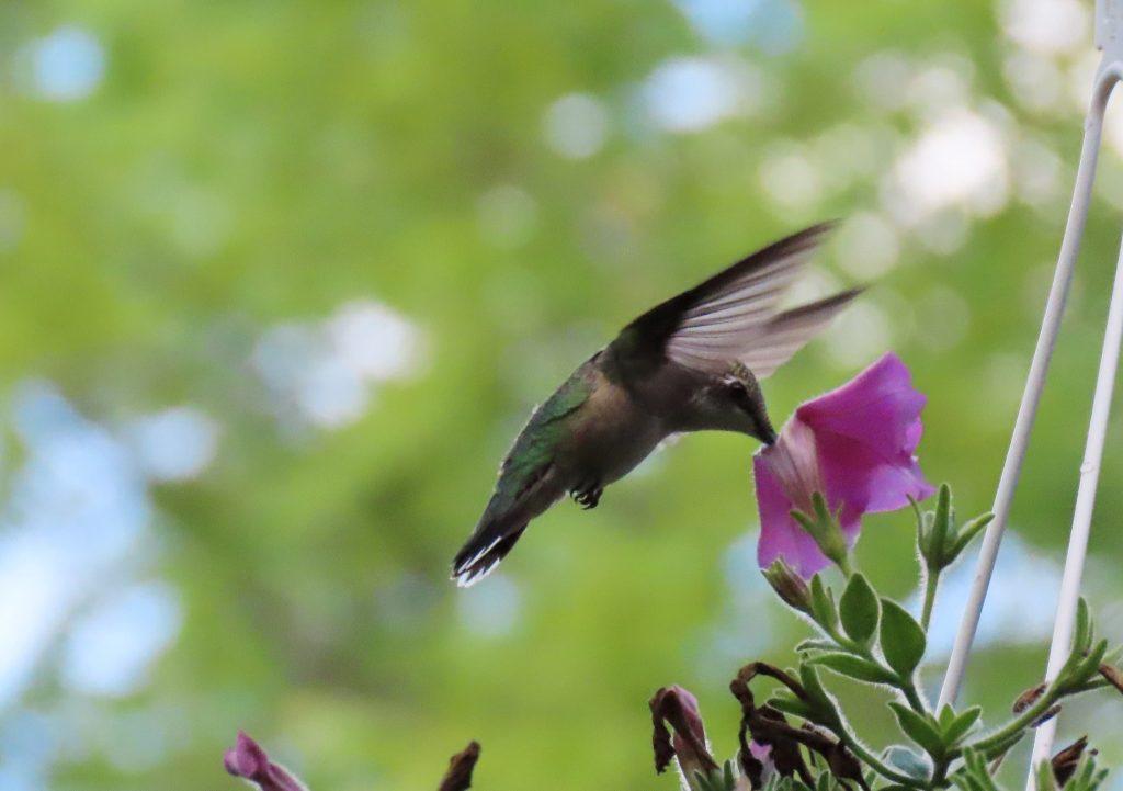 black hummingbird on purple flower