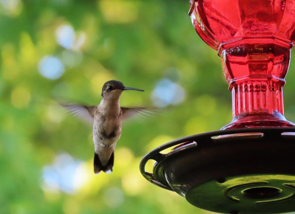 hummingbird nearing red feeder
