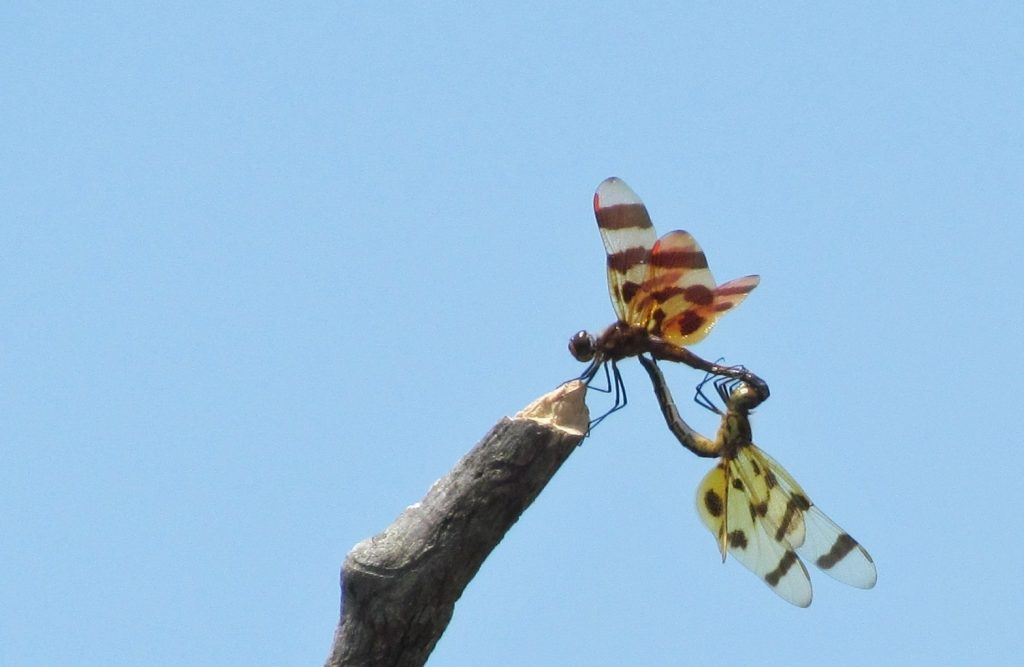 Heart-Shaped mating dragonflies