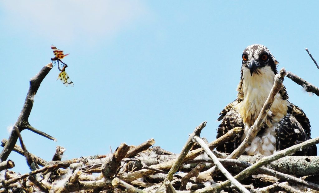 Halloween Pennants mating in Osprey nest