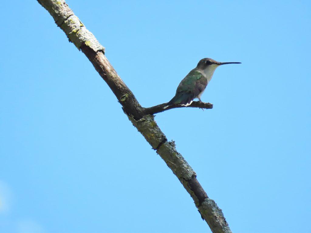 hummingbird on stick