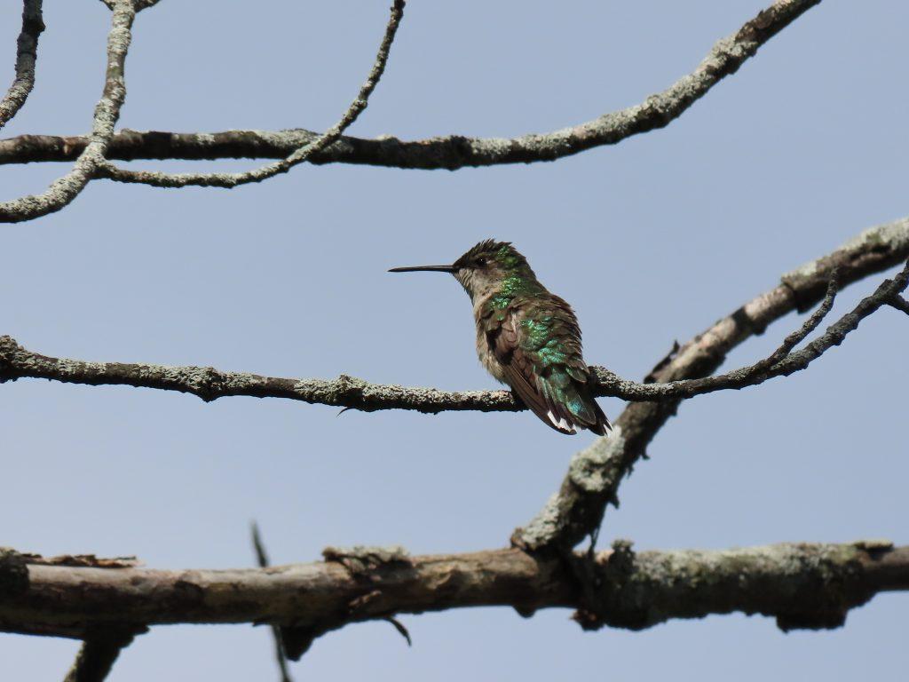 metallic female hummingbird