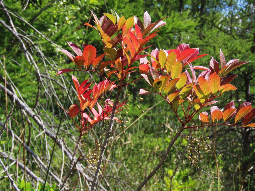 red poison sumac leaves on branch