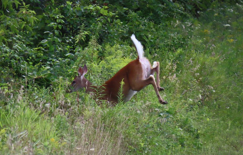 white-tailed deer jumping in woods