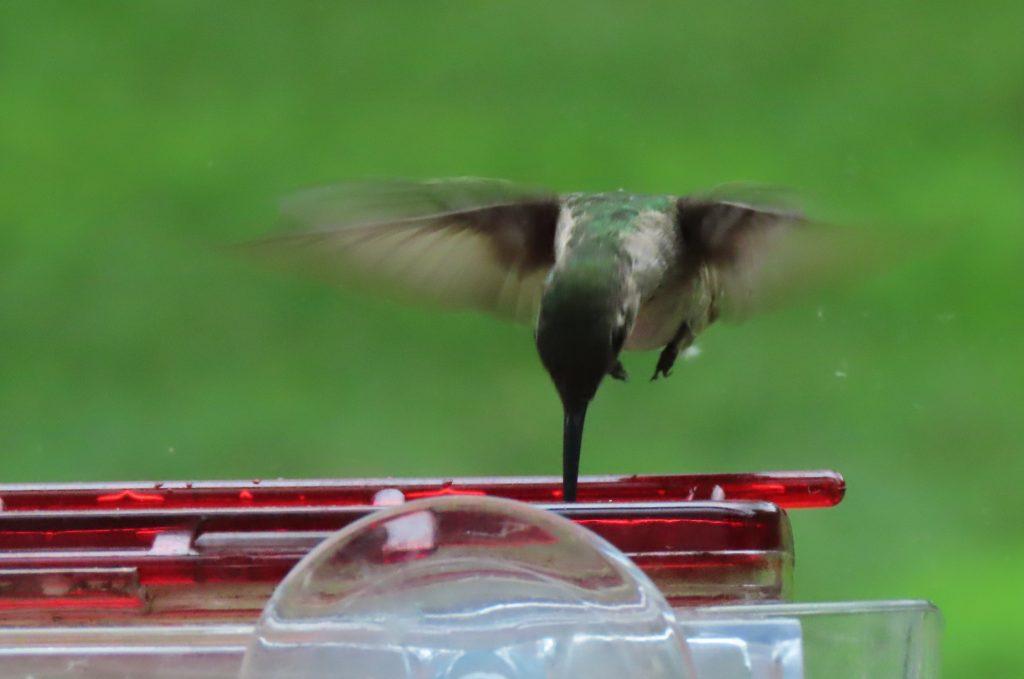 hummingbird eating from feeder