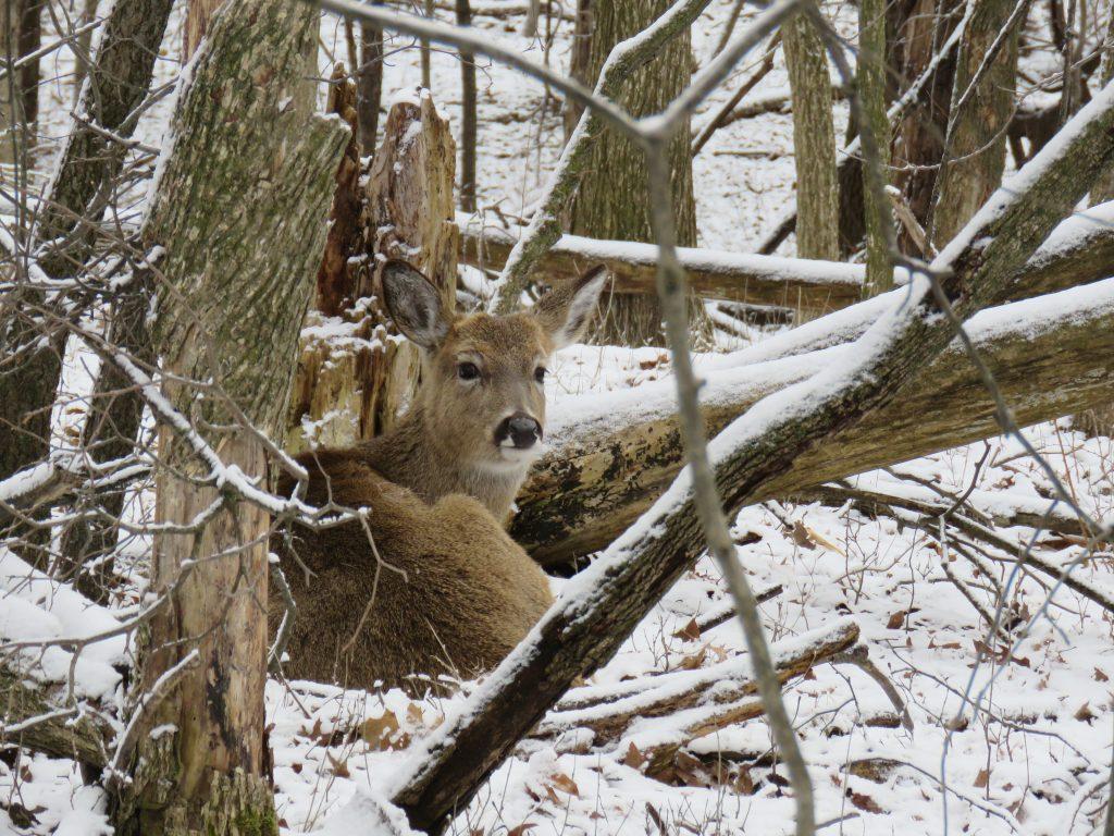 deer in winter bed