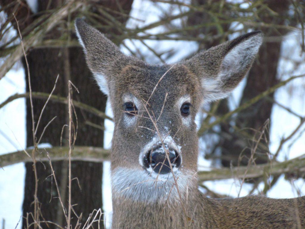 close up face of deer