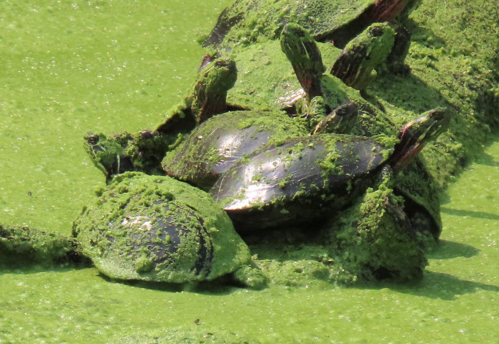 turtles in green duckweed