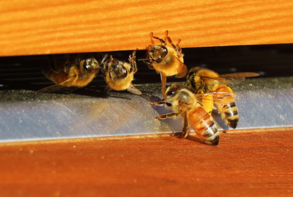 bees emerging at entrance of hive