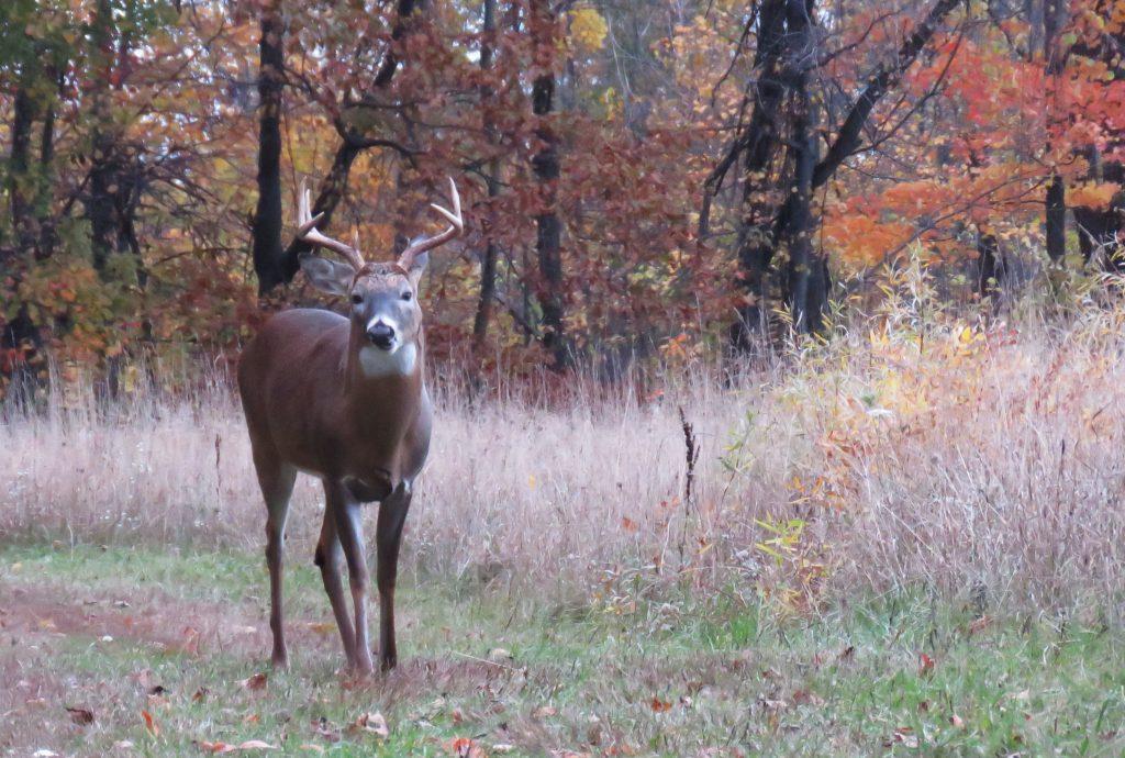 large buck in meadow