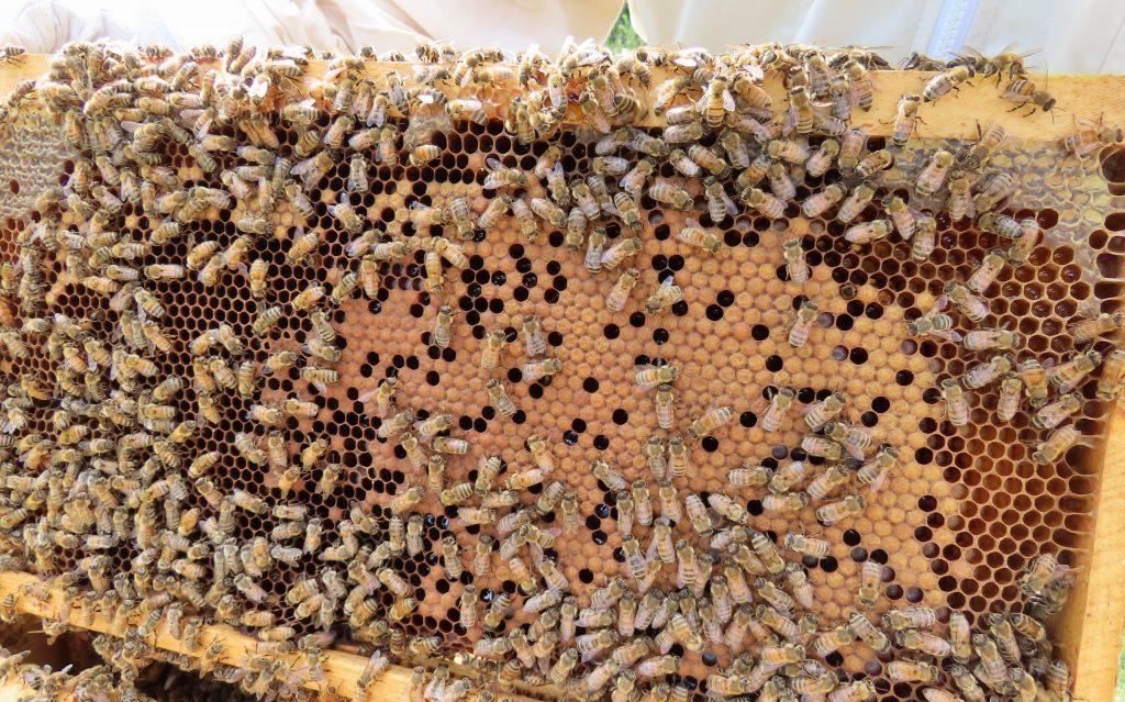 inside a honey bee hive