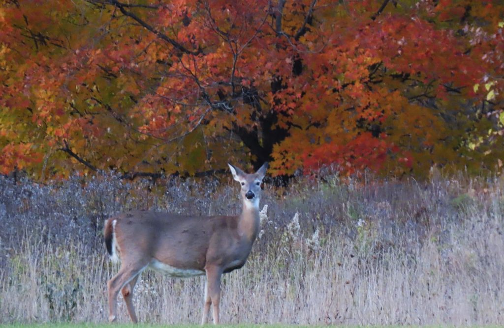 doe in woods