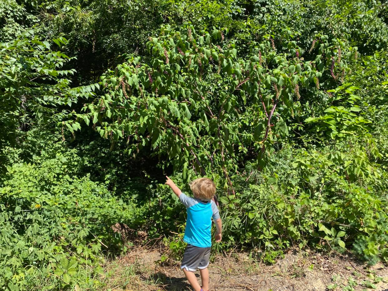 child pointing to pokeweed plant
