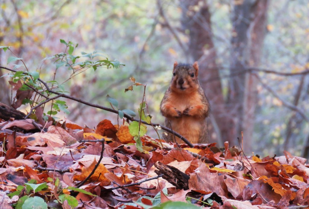 squirrel on red leaves
