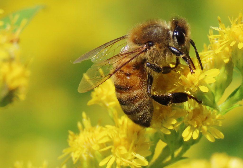 up close honey bee
