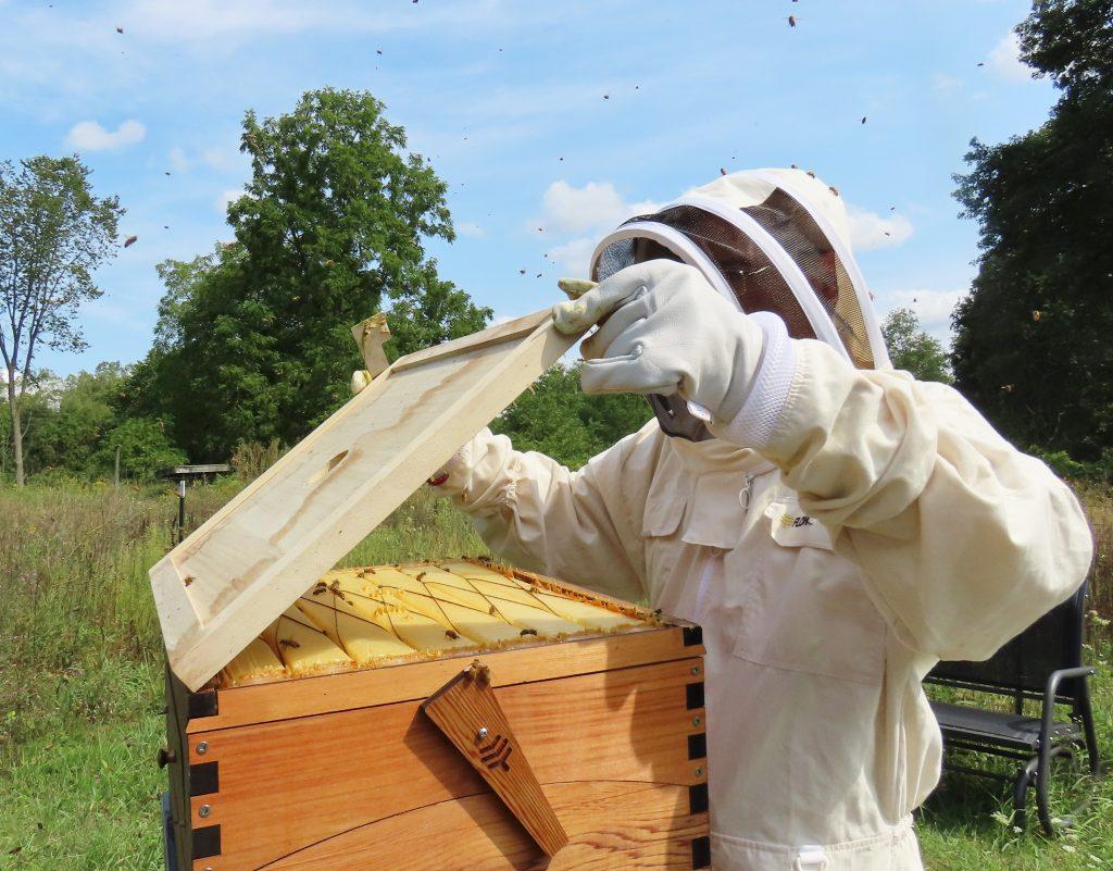 beekeeper inspecting bee hive