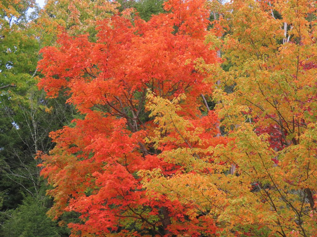 maple tree fall foliage