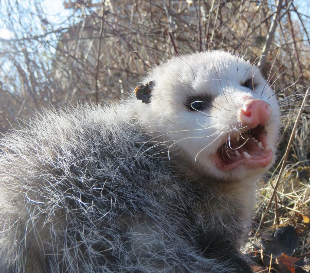 open mouthed opossum