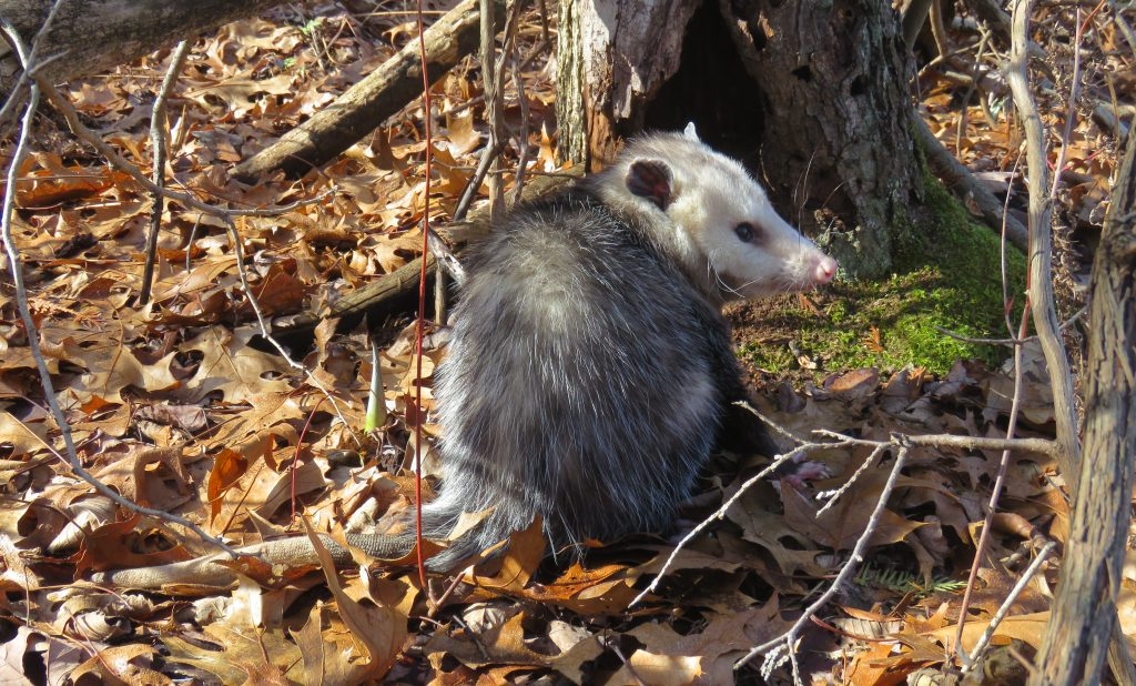 opossum at tree trunk