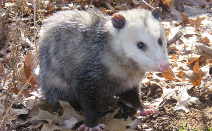 gray and white opossum on leaves