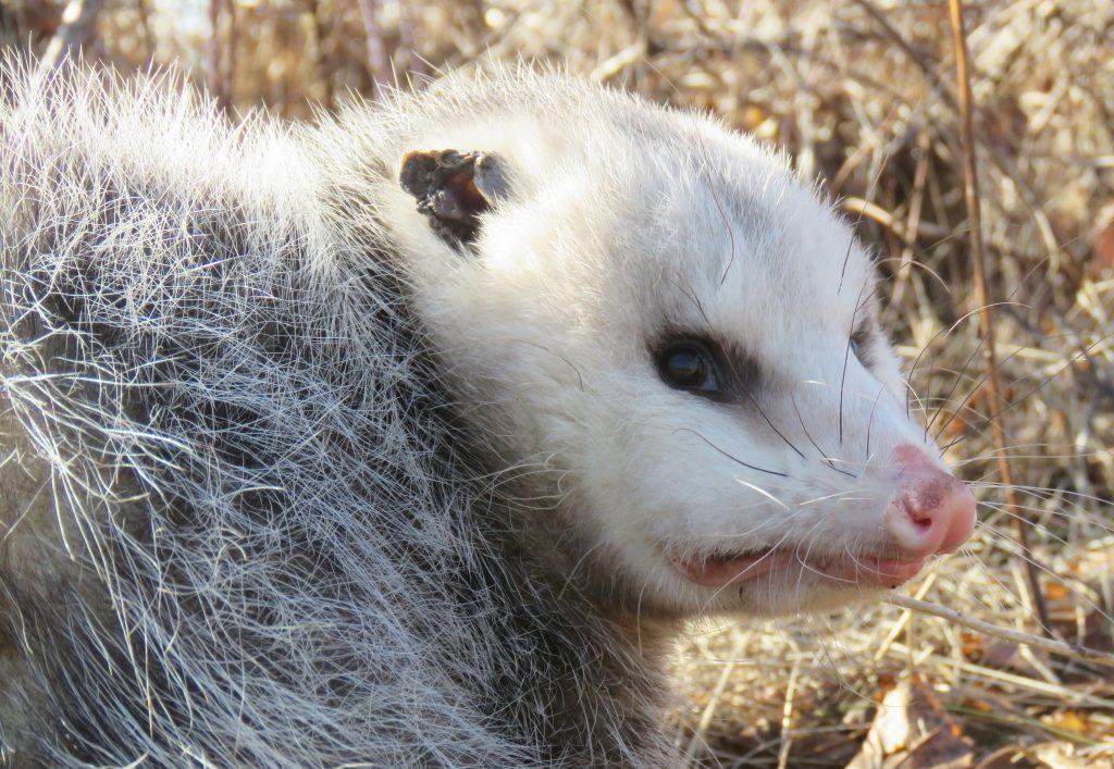 face of an opossum