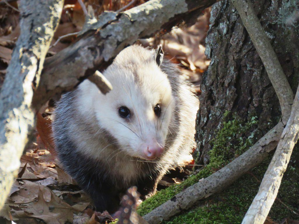 opossum looking through branch