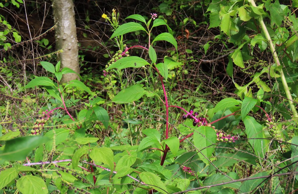 pokeweed in green underbrush