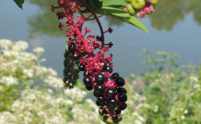 purple pokeweed berries
