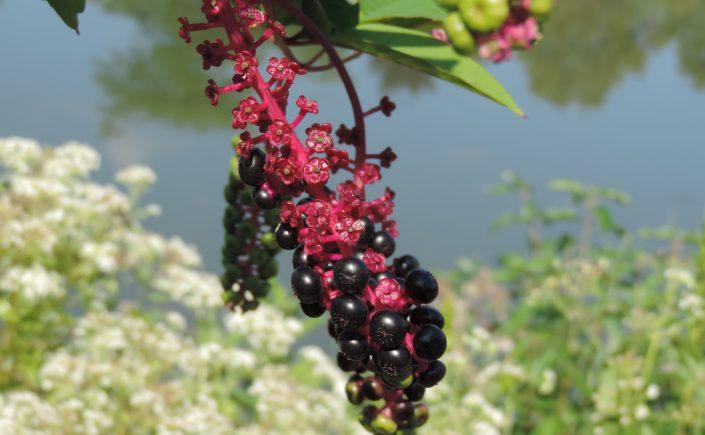 purple pokeweed berries